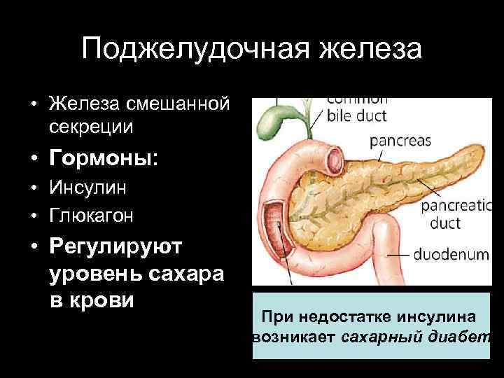 Железы смешанной секреции поджелудочная железа сахарный диабет