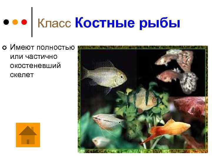Класс Костные рыбы ¢ Имеют полностью или частично окостеневший скелет