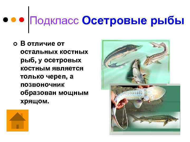 Подкласс Осетровые рыбы ¢ В отличие от остальных костных рыб, у осетровых костным является