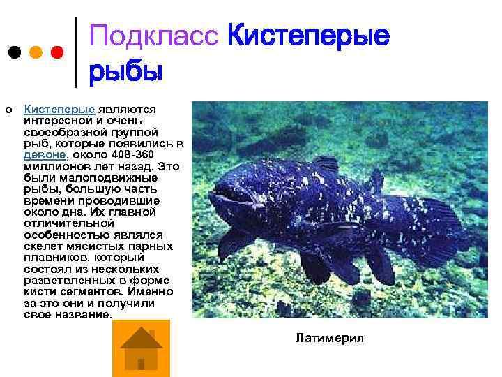 Подкласс Кистеперые рыбы ¢ Кистеперые являются интересной и очень своеобразной группой рыб, которые появились