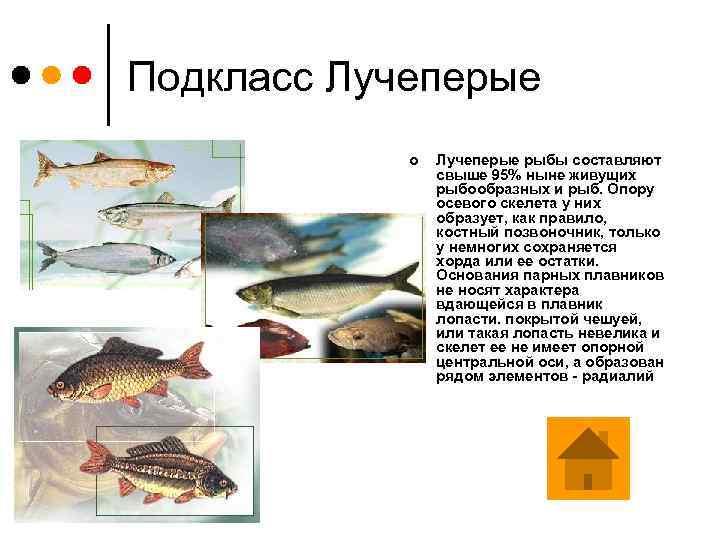 Подкласс Лучеперые ¢ Лучеперые рыбы составляют свыше 95% ныне живущих рыбообразных и рыб. Опору