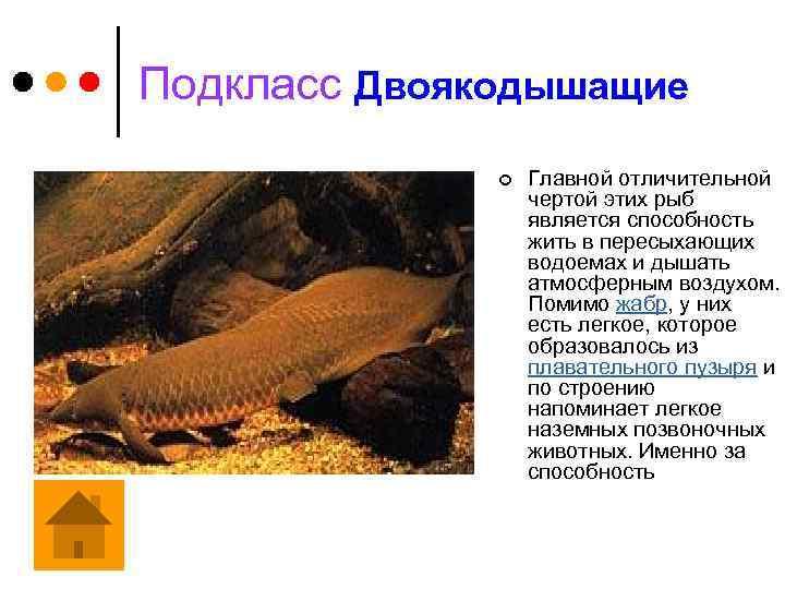 Подкласс Двоякодышащие ¢ Главной отличительной чертой этих рыб является способность жить в пересыхающих водоемах