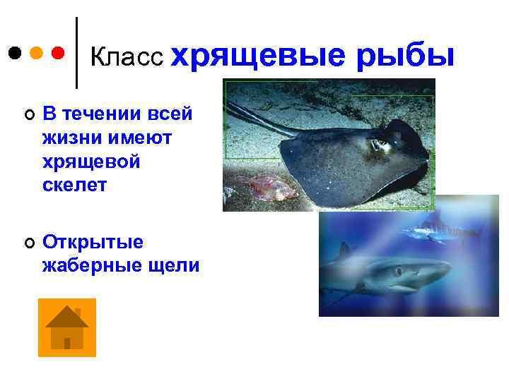 Класс хрящевые рыбы ¢ В течении всей жизни имеют хрящевой скелет ¢ Открытые жаберные