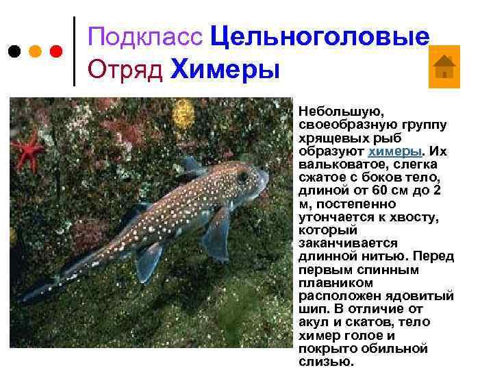 Подкласс Цельноголовые Отряд Химеры ¢ Небольшую, своеобразную группу хрящевых рыб образуют химеры. Их вальковатое,