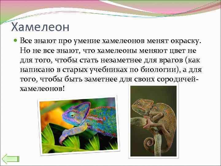 Хамелеон Все знают про умение хамелеонов менят окраску. Но не все знают, что хамелеоны