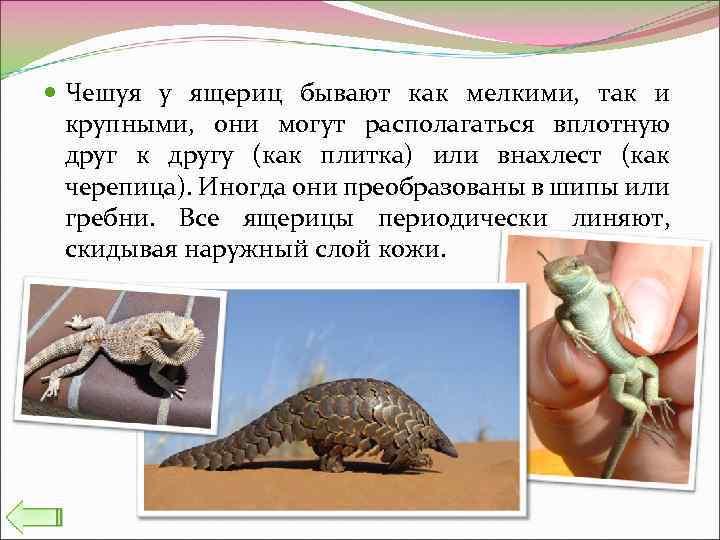 Чешуя у ящериц бывают как мелкими, так и крупными, они могут располагаться вплотную