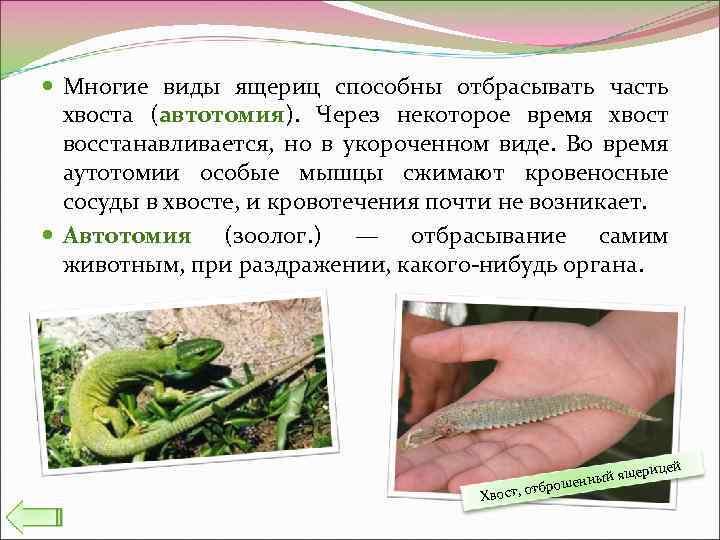 Многие виды ящериц способны отбрасывать часть хвоста (автотомия). Через некоторое время хвост восстанавливается,