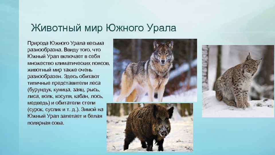 Животный мир Южного Урала Природа Южного Урала весьма разнообразна. Ввиду того, что Южный Урал