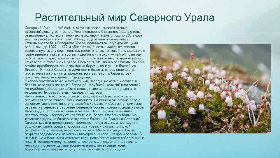 Растительный мир Северного Урала Северный Урал — край густых таежных лесов, высокотравных субальпийских лугов