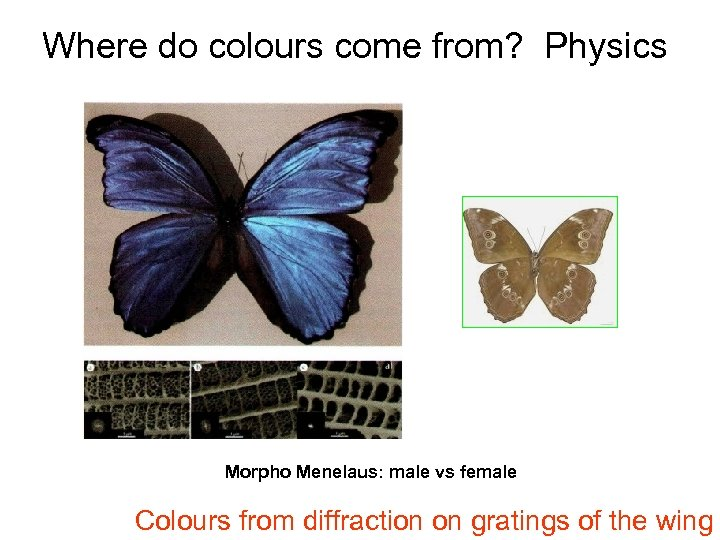 Where do colours come from? Physics Morpho Menelaus: male vs female Colours from diffraction