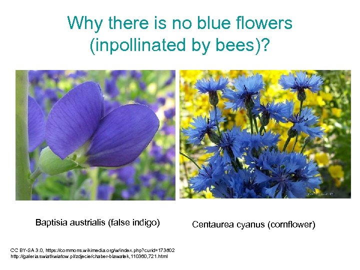 Why there is no blue flowers (inpollinated by bees)? Baptisia austrialis (false indigo) CC