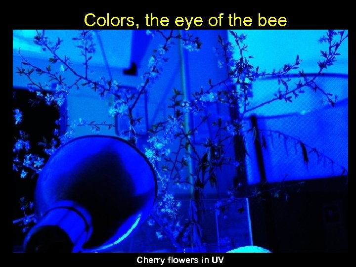 Colors, the eye of the bee Cherry flowers in UV