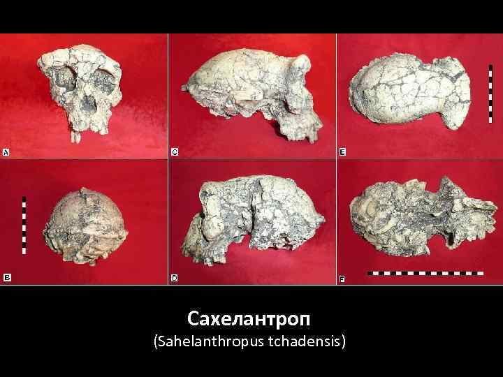 Сахелантроп (Sahelanthropus tchadensis)