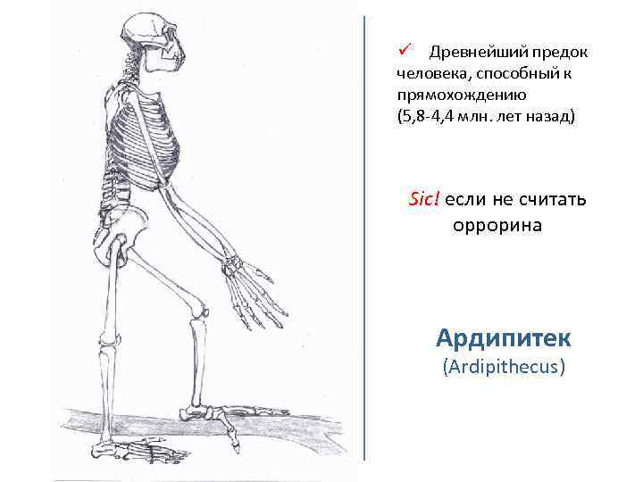 ü Древнейший предок человека, способный к прямохождению (5, 8 -4, 4 млн. лет назад)