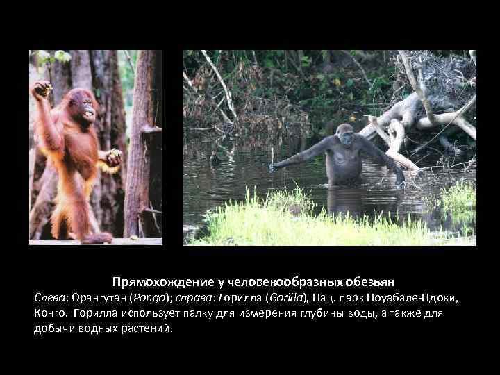 Прямохождение у человекообразных обезьян Слева: Орангутан (Pongo); справа: Горилла (Gorilla), Нац. парк Ноуабале-Ндоки, Конго.