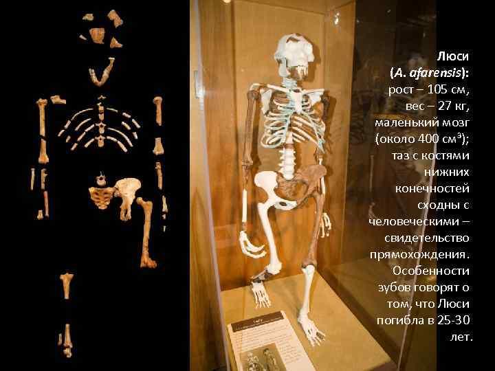 ЛЮСИ (A. afarensis): рост – 105 см, вес – 27 кг, маленький мозг (около