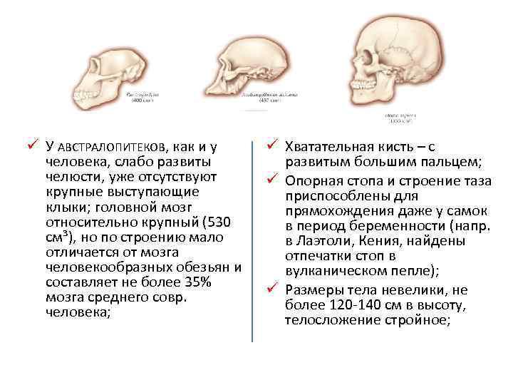 ü У АВСТРАЛОПИТЕКОВ, как и у человека, слабо развиты челюсти, уже отсутствуют крупные выступающие