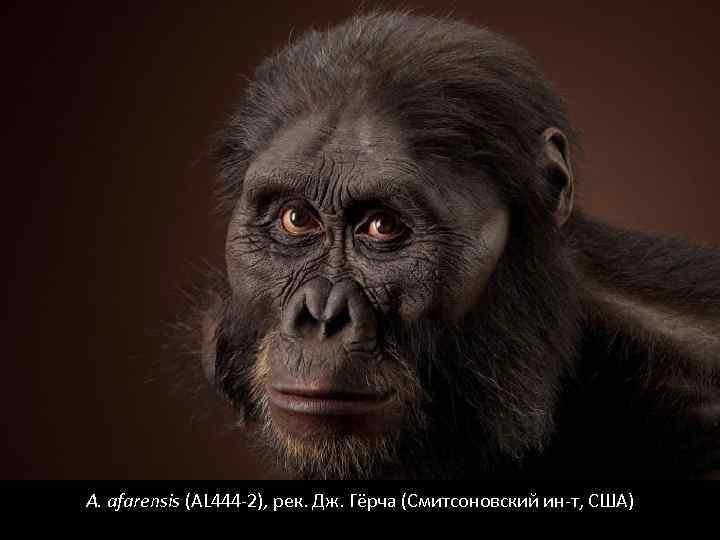 A. afarensis (AL 444 -2), рек. Дж. Гёрча (Смитсоновский ин-т, США)