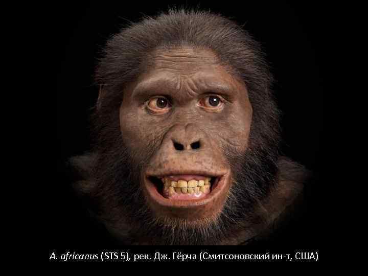 A. africanus (STS 5), рек. Дж. Гёрча (Смитсоновский ин-т, США)