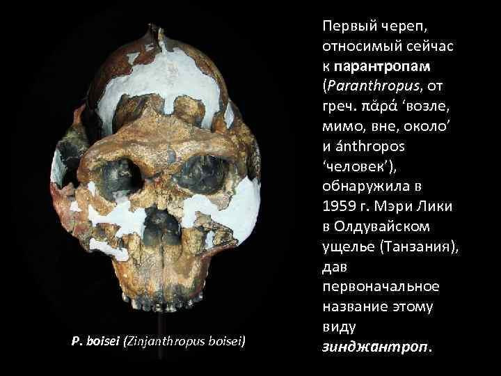 P. boisei (Zinjanthropus boisei) Первый череп, относимый сейчас к парантропам (Paranthropus, от греч. πᾰρά