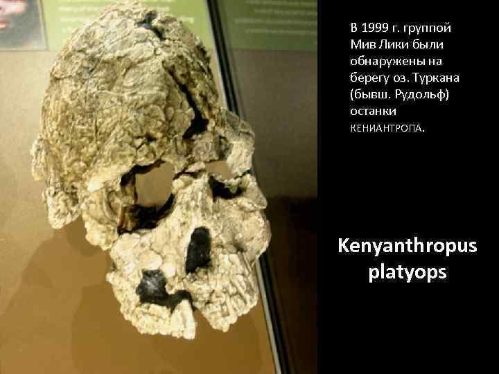 В 1999 г. группой Мив Лики были обнаружены на берегу оз. Туркана (бывш. Рудольф)