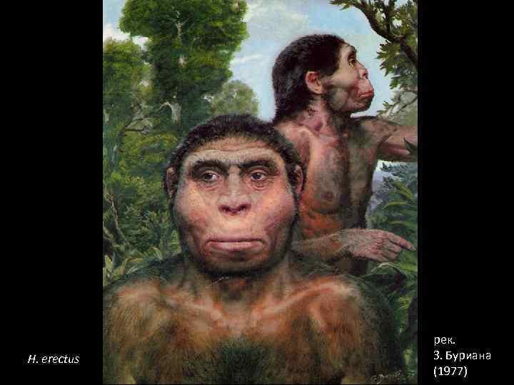 H. erectus рек. З. Буриана (1977)