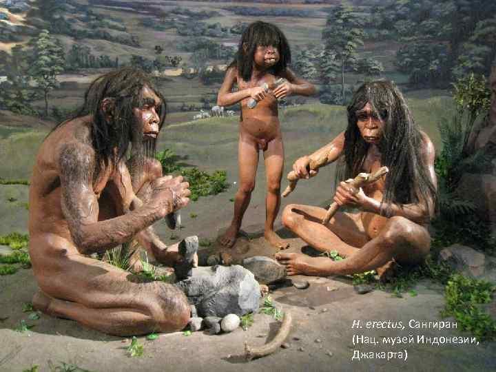 H. erectus, Сангиран (Нац. музей Индонезии, Джакарта)