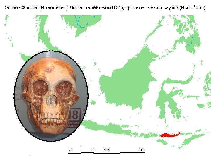 Остров Флорес (Индонезия). Череп «хоббита» (LB-1), хранится в Амер. музее (Нью-Йорк).