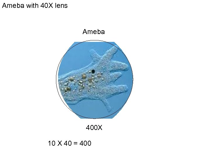 Ameba with 40 X lens Ameba 400 X 10 X 40 = 400