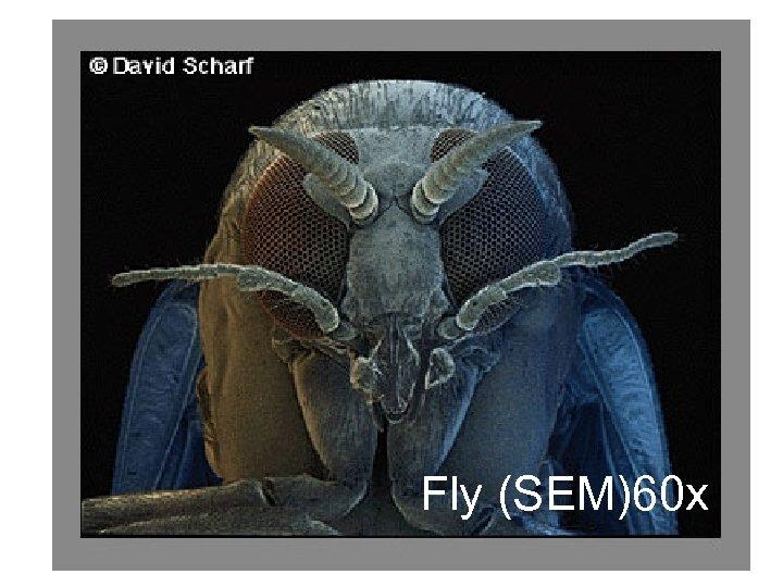 Fly (SEM)60 x
