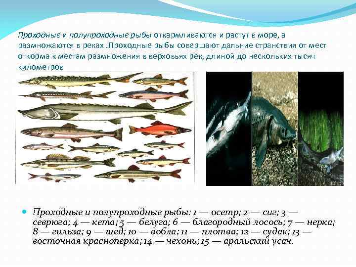 Проходные и полупроходные рыбы откармливаются и растут в море, а размножаются в реках. Проходные