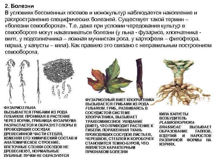 2. Болезни В условиях бессменных посевов и монокультур наблюдается накопление и распространение специфических болезней.