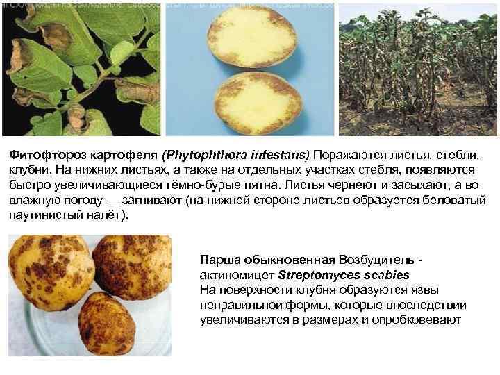 Фитофтороз картофеля (Phytophthora infestans) Поражаются листья, стебли, клубни. На нижних листьях, а также на