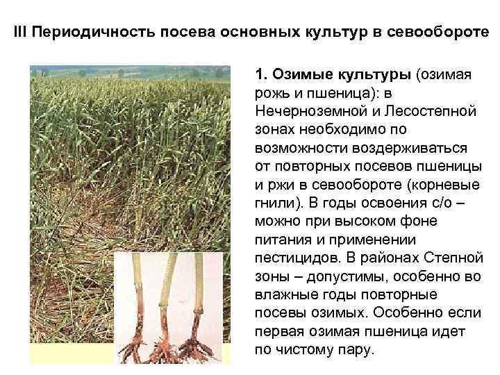 III Периодичность посева основных культур в севообороте 1. Озимые культуры (озимая рожь и пшеница):
