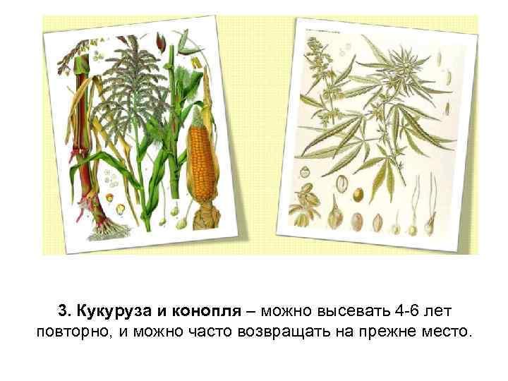 3. Кукуруза и конопля – можно высевать 4 -6 лет повторно, и можно часто