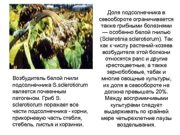 Возбудитель белой гнили подсолнечника S. sclerotiorum является почвенным патогеном. Гриб S. sclerotiorum поражает все
