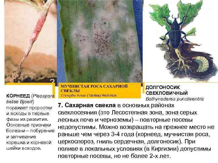 КОРНЕЕД (Pleospora betae Bjоеrl) поражает проростки и всходы в первые фазы их развития. Основные
