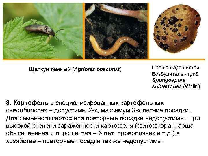 Щелкун тёмный (Agriotes obscurus) Парша порошистая Возбудитель - гриб Spongospora subterranea (Wallr. ) 8.