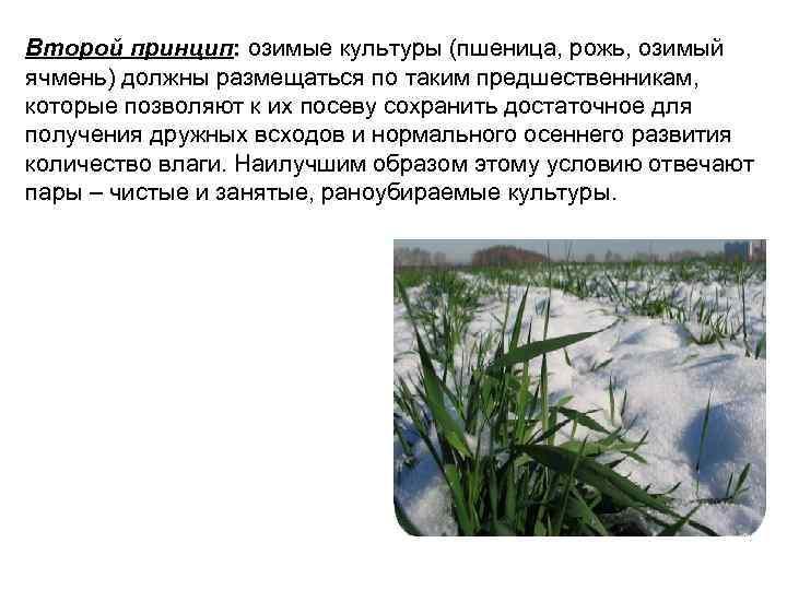 Второй принцип: озимые культуры (пшеница, рожь, озимый ячмень) должны размещаться по таким предшественникам, которые
