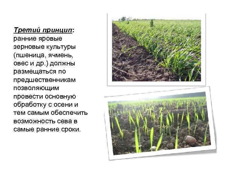 Третий принцип: ранние яровые зерновые культуры (пшеница, ячмень, овес и др. ) должны размещаться