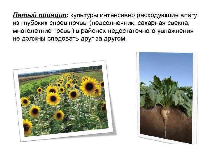 Пятый принцип: культуры интенсивно расходующие влагу из глубоких слоев почвы (подсолнечник, сахарная свекла, многолетние