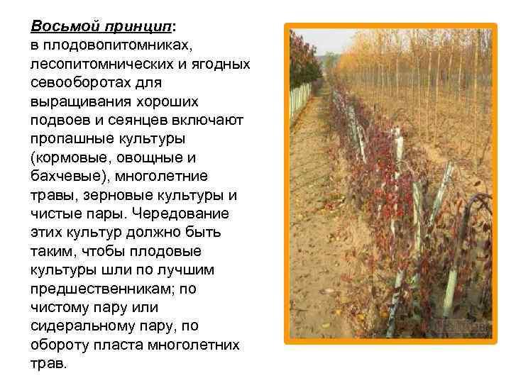 Восьмой принцип: в плодовопитомниках, лесопитомнических и ягодных севооборотах для выращивания хороших подвоев и сеянцев