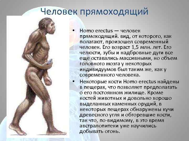 Человек прямоходящий • Homo erectus — человек прямоходящий. вид, от которого, как полагают, произошел