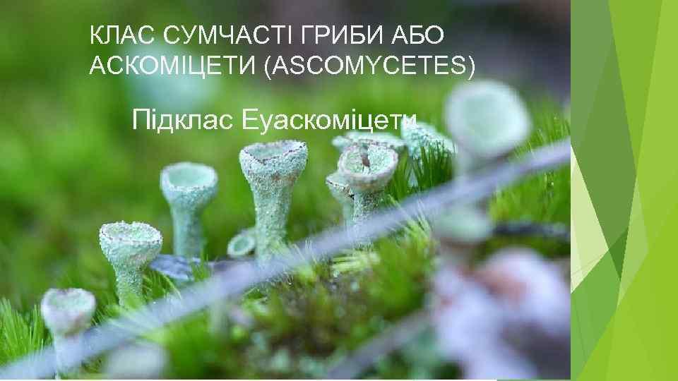 КЛАС СУМЧАСТІ ГРИБИ АБО АСКОМІЦЕТИ (ASCOMYCETES) Підклас Еуаскоміцети