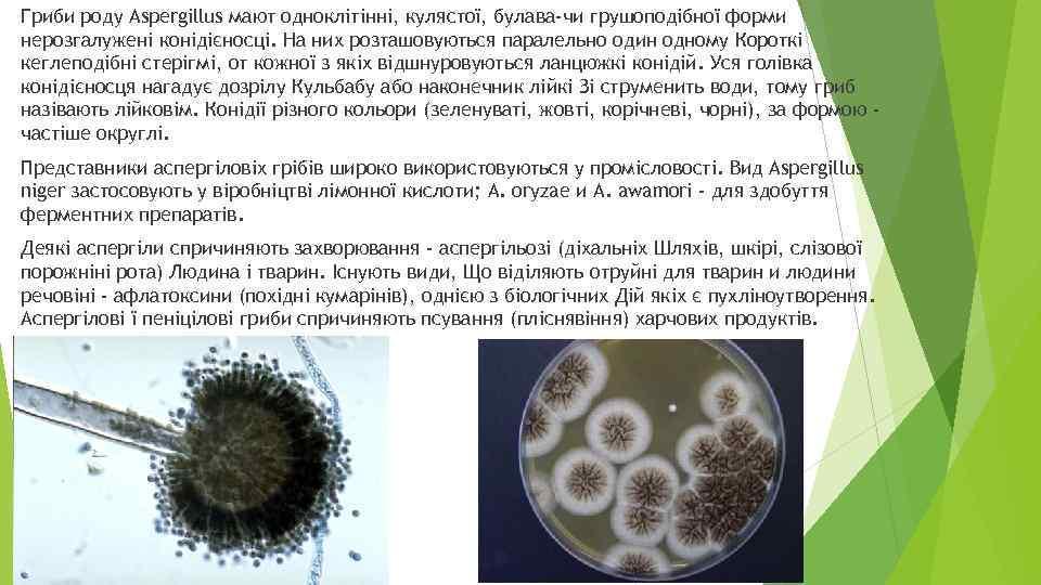 Гриби роду Aspergillus мают одноклітінні, кулястої, булава-чи грушоподібної форми нерозгалужені конідієносці. На них розташовуються