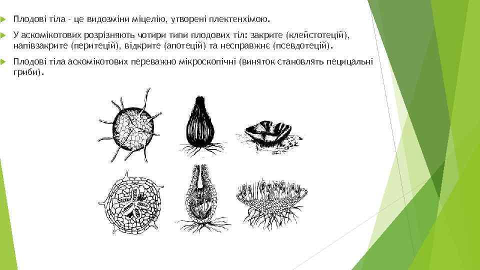 Плодові тіла – це видозміни міцелію, утворені плектенхімою. У аскомікотових розрізняють чотири типи
