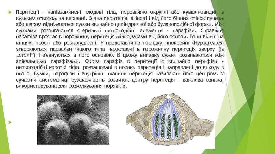 Перитеції – напівзамкнені плодові тіла, переважно округлі або кувшиновидні, з вузьким отвором на