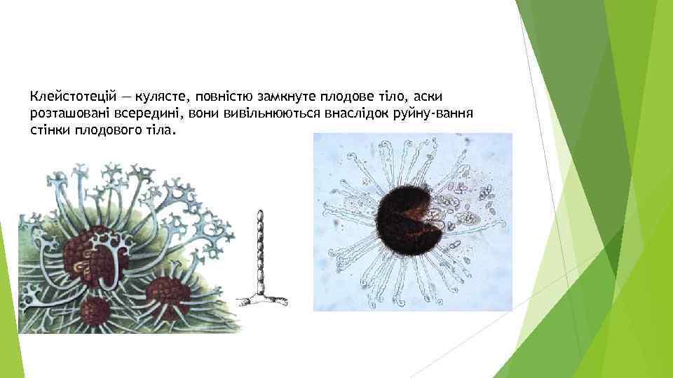 Клейстотецій — кулясте, повністю замкнуте плодове тіло, аски розташовані всередині, вони вивільнюються внаслідок руйну