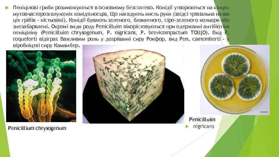 Пеніцілові гриби розмножуються в основному безстатево. Конідії утворюються на кінцях мутовчасторозгалуженіх конідієносців, Що