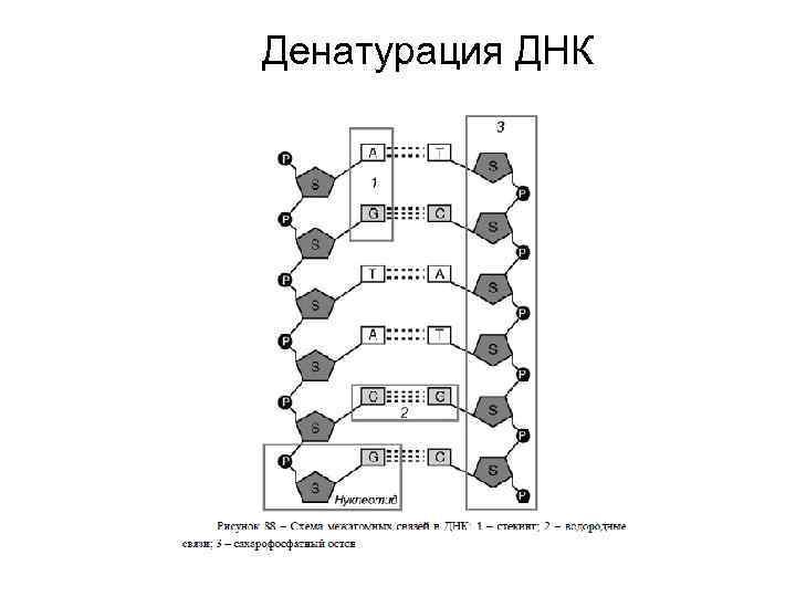 Денатурация ДНК